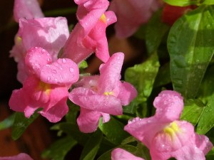 common-snapdragon-795976_640